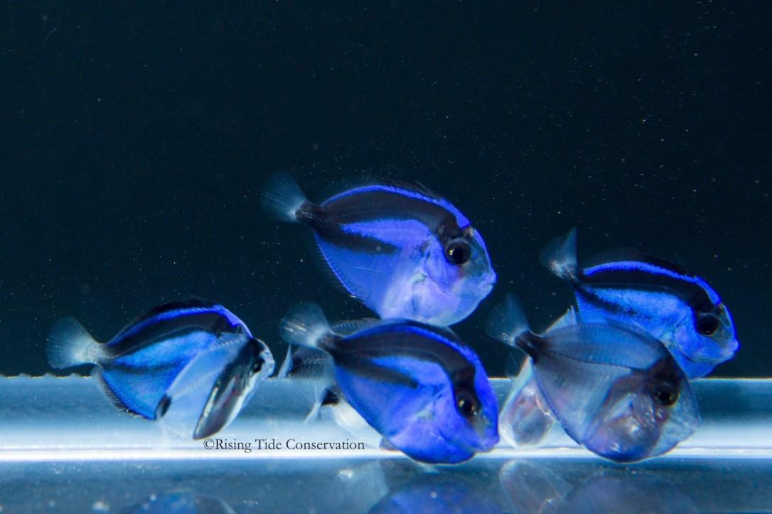 bluetangbreeding0008