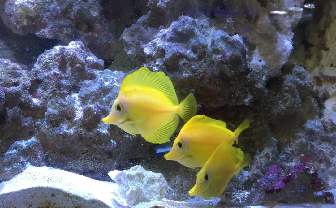 featured-yellow-tang-pic
