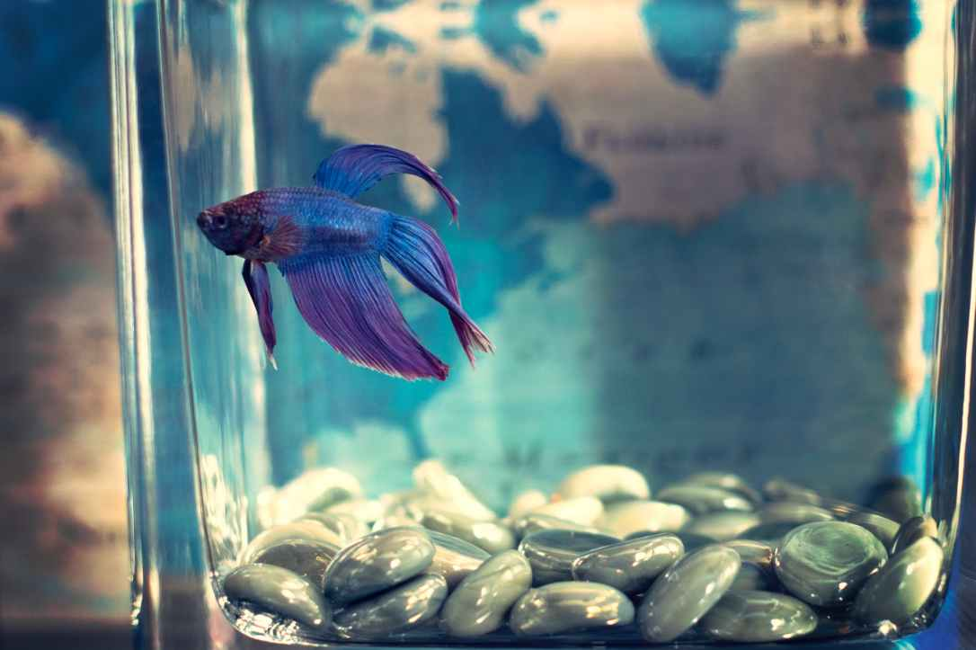 selective focis photo of blue betta fish
